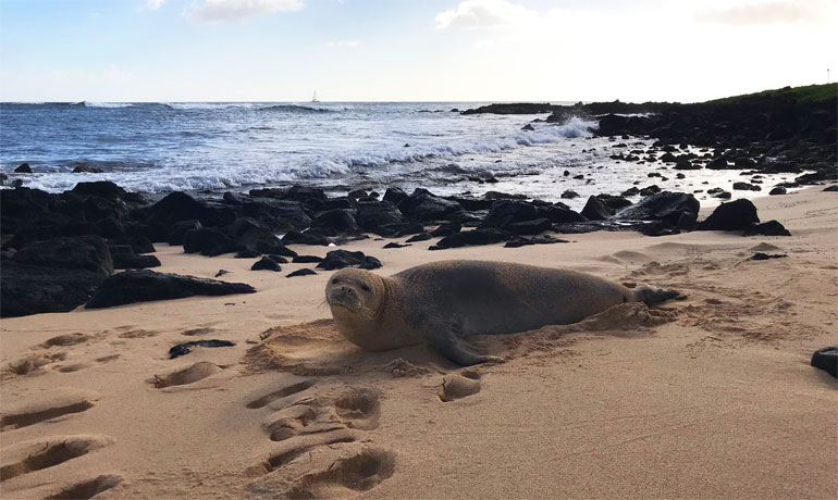 best beaches in Kauai, Hawaiian monk seal, top things to do in Kauai, what to do in Hawaii, Poipu Beach Kauai