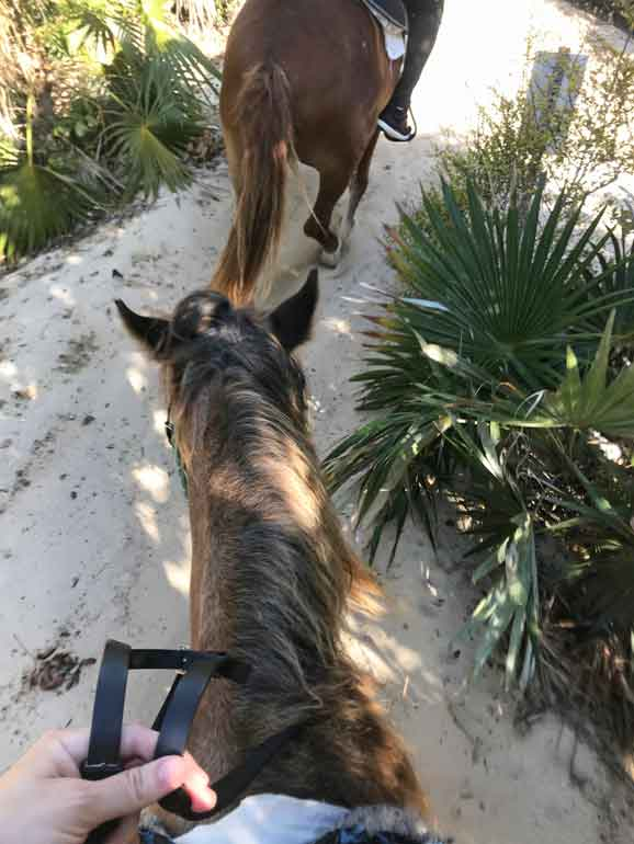 horseback riding trail on the beach path narrows looking down at the horse