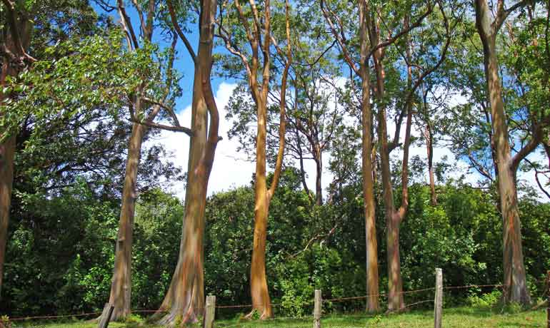rainbow eucalyptus trees in Maui trees with striped trunks