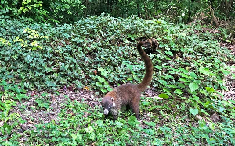 Wildlife in Tikal - Coati