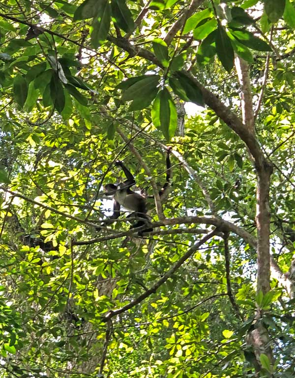 Spider monkeys in Belize