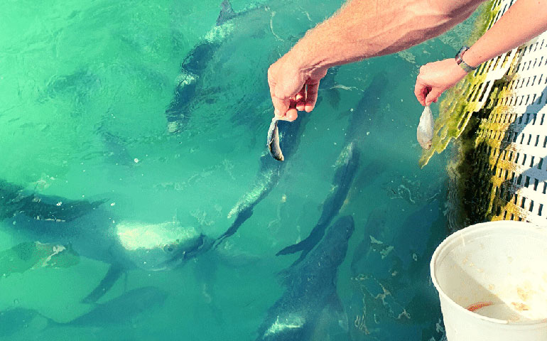 feeding tarpons in Islamorada