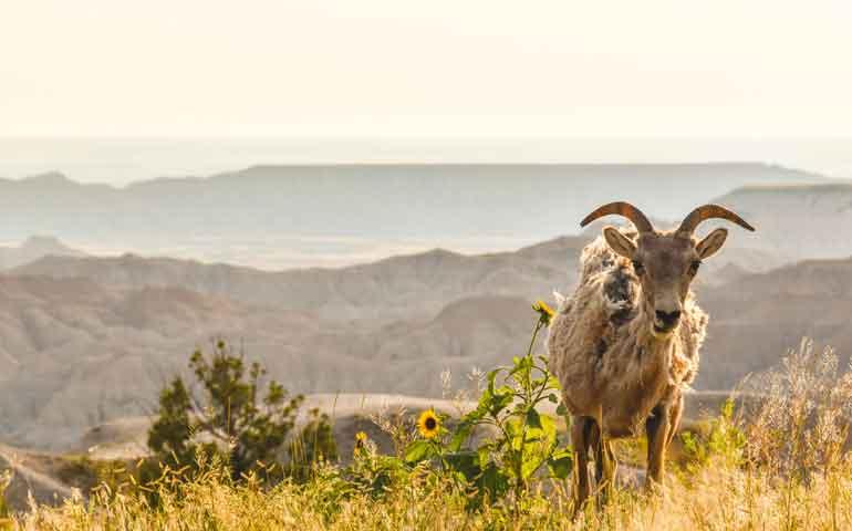 badlands wildlife big horn sheep