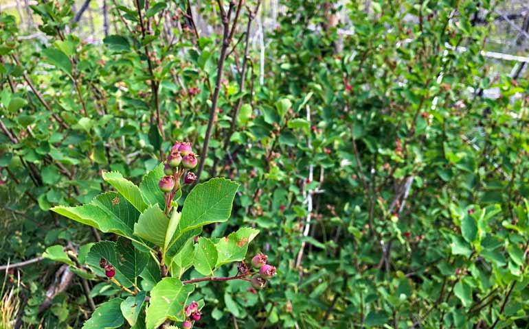 hunt for huckleberries glacier national park