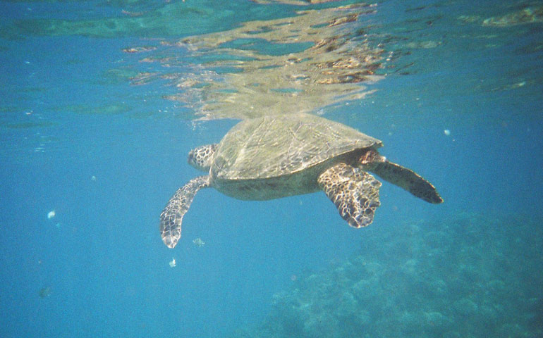 snorkeling with sea turtles kauai