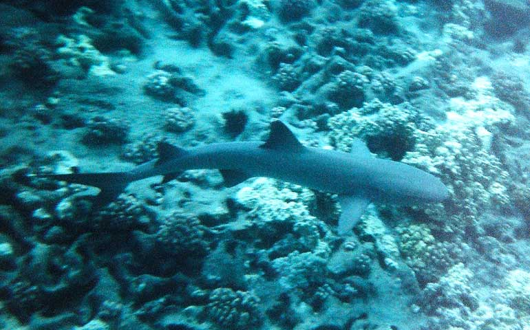shark while snorkeling hawaii