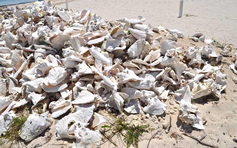 conch shells caribbean