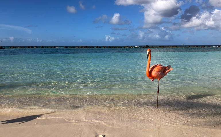 single flamingo on the beach in aruba
