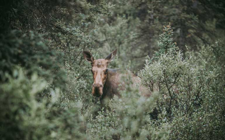 Wildlife in Denali in Alaksa - the best national park to visit in summer for wildlife