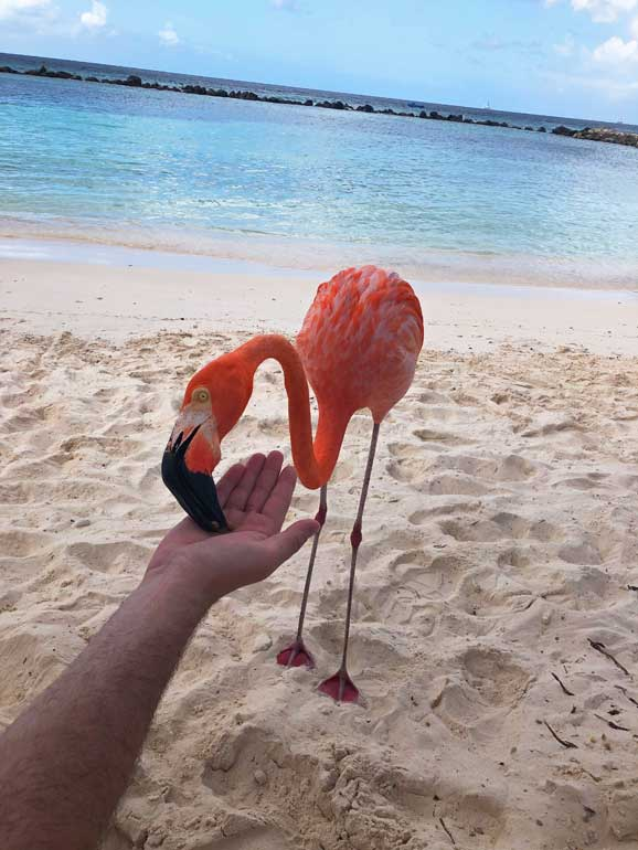 feeding flamingos
