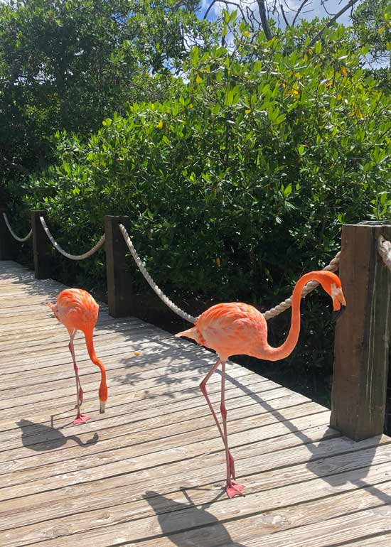 two flamingos walking in aruba