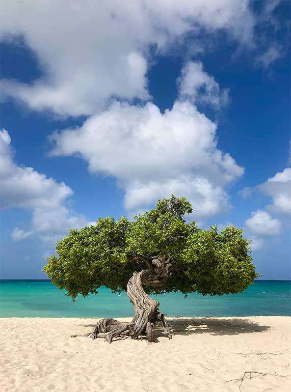 fofoti tree aruba