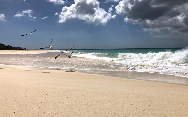 seagulls at play in Aruba