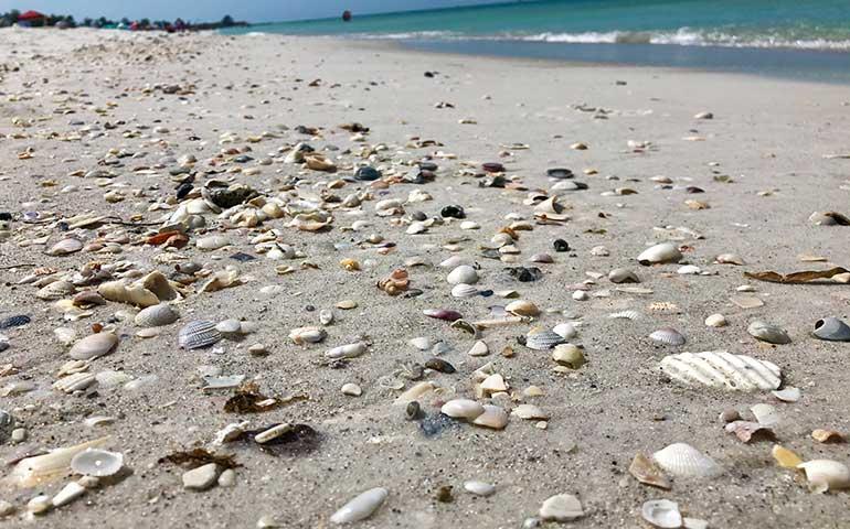 coquina sea shells