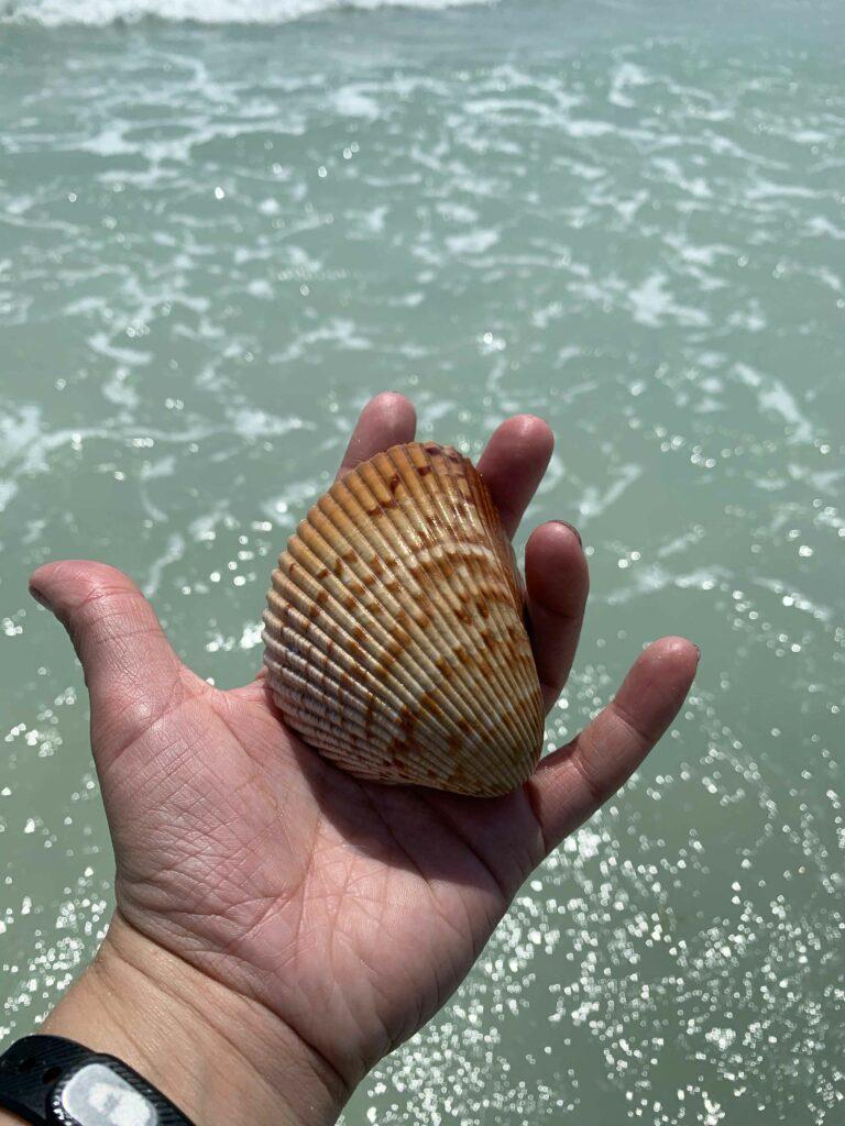 finding seashells Anna Maria Island