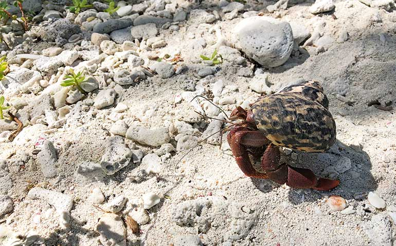 crab walking on the sand