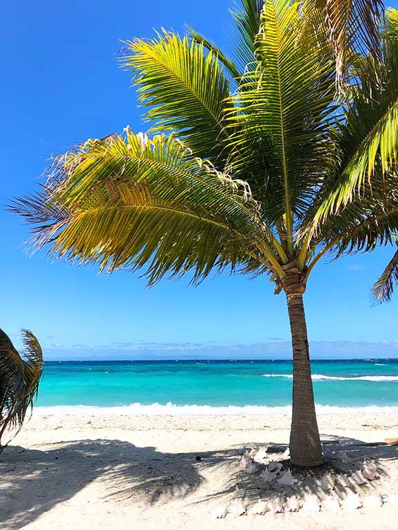 belize palm tree