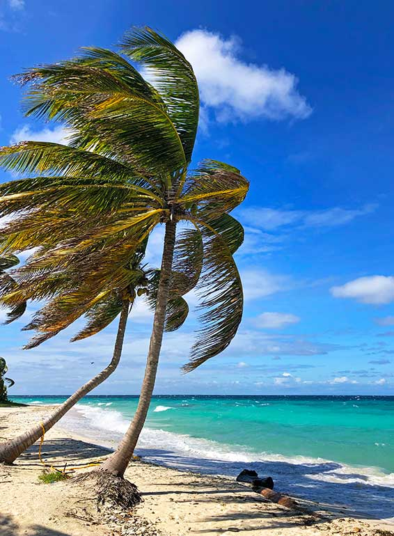 palm trees in the Caribbean